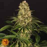 Barneys Farm Seeds Tropicanna Banana
