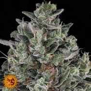 Barneys Farm Seeds Glookies