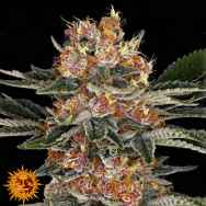 Barneys Farm Seeds Purple Punch