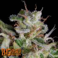 Big Head Seeds Alien Gorilla