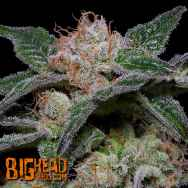 Big Head Seeds Banana Punch