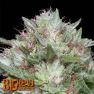 Big Head Seeds Big Head Confidential