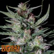 Big Head Seeds Dogstar Dawg Auto