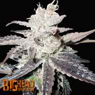 Big Head Seeds AUTO Freeze Berry