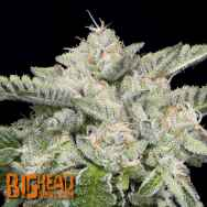 Big Head Seeds Skywalka Ghost Kush