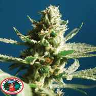 Big Buddha Seeds Sch Lemon Cake