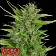 Big Head Seeds Sour Diesel