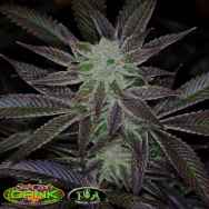 TGA SubCool's The Dank Black Jack
