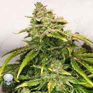 Black Skull Seeds Gorilla Glue