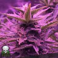 Black Skull Seeds Stardawg