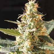 BlimBurn Seeds Cream Automatic