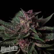 BlimBurn Seeds Grizzly Purple AUTO