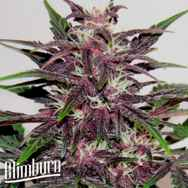 BlimBurn Seeds Grizzly Purple Kush