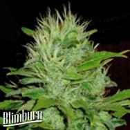 BlimBurn Seeds Mango