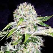 BlimBurn Seeds Northern Automatic