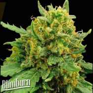 BlimBurn Seeds Super Automatic