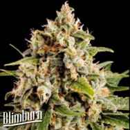 BlimBurn Seeds Orka