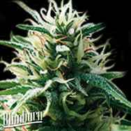 BlimBurn Seeds Sweety Automatic