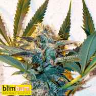 Blimburn Seeds Critical Daddy Purple