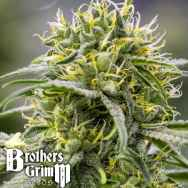 Brothers Grimm Seeds Durban-Thai x C99