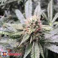Cannarado Genetics Seeds Grape Nana