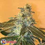 Cannarado Genetics Seeds Uber