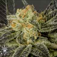 CannaVenture Seeds Pure LA Affie
