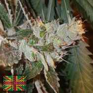 Connoisseur Genetics Seeds Double Strawberry Diesel Jones
