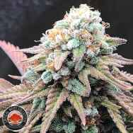 Critical Mass Collective Alien Masster Kush