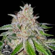 Crockett Family Farms Seeds Cherry 18