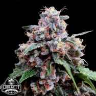 Crockett Family Farms Seeds Lemon 18