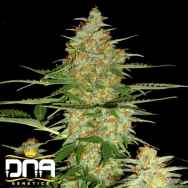 DNA Genetics Seeds 60 Day Wonder Automatic