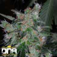 DNA Genetics Seeds 60 Day LEMON Automatic