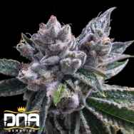 DNA Genetics Seeds El Fuego AUTO