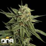 DNA Genetics Seeds Holy Grail Kush