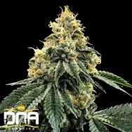 DNA Genetics Seeds Kosher Dawg