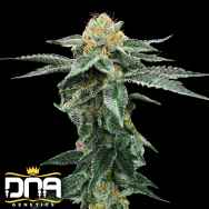DNA Genetics Seeds Kosher Cookies