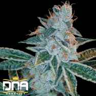 DNA Genetics Seeds Lemon OG Kush