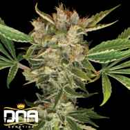 DNA Genetics Seeds Martian Kush