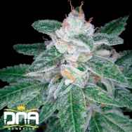 DNA Genetics Seeds OG #18 x Skunk