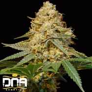 DNA Genetics Seeds Silver LA