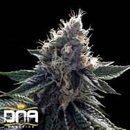 DNA Genetics Seeds Sour Kosher