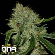 DNA Genetics Seeds Tangilope