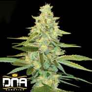 DNA Genetics Seeds Cannalope Kush