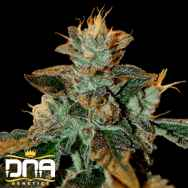 DNA Genetics Seeds Cataract Kush