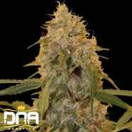 DNA Genetics Seeds Chocolate Fondue