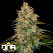 DNA Genetics Seeds Chocolope Kush