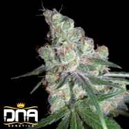 DNA Genetics Seeds Chocolope