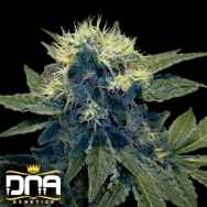 DNA Genetics Seeds Sharksbreath