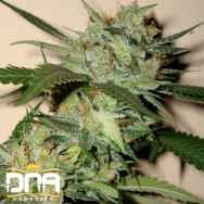 DNA Genetics Seeds Sleestack x Skunk